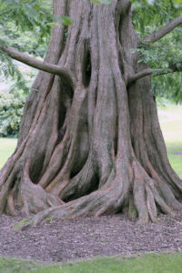 See Dawn Redwoods  (Photo courtesy of Bailey Arboretum)